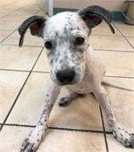 Puppy at Rowlett Animal Shelter